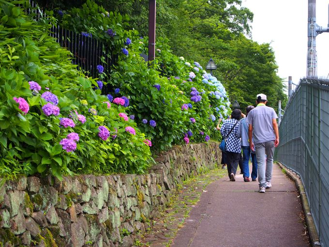 飛鳥山公園の山裾、約350m続く紫陽花の道