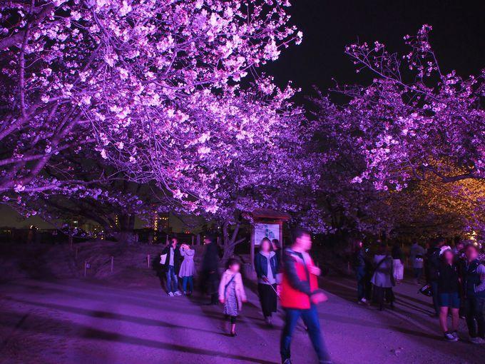 福岡城址の中心部!桜が密集するように咲き誇る桜園へ