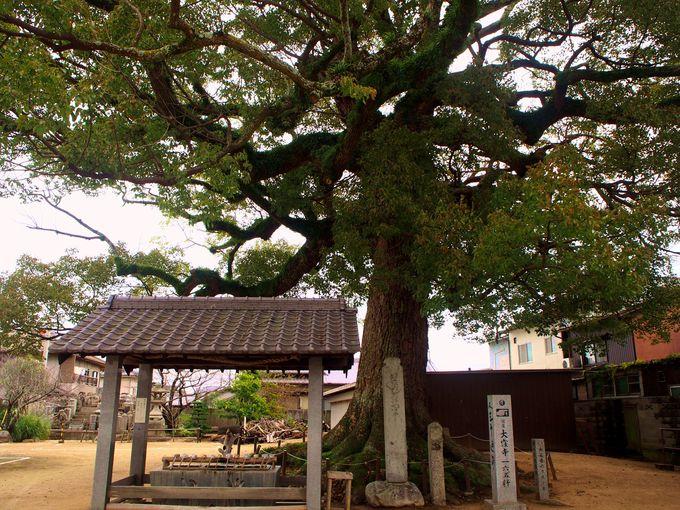 広々とした長尾寺の境内と大きなクスノキ