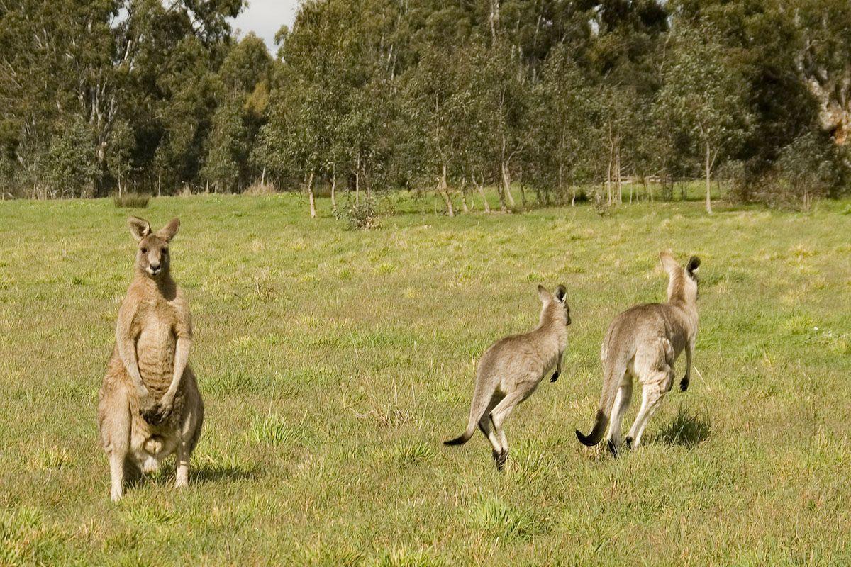 野生のカンガルーも生息!メルボルン「ウェスターフォールズ公園」