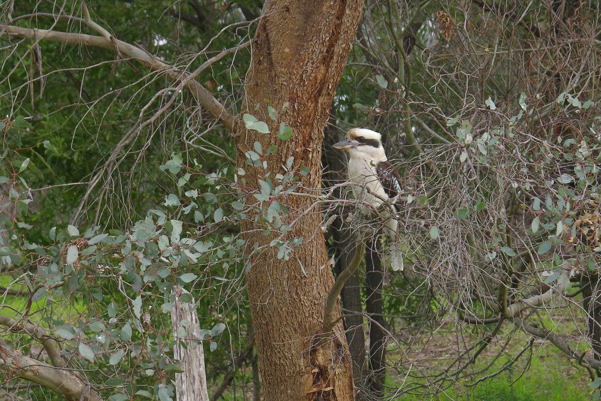 カンガルー以外にもオーストラリアのあまたの野鳥が観察できる