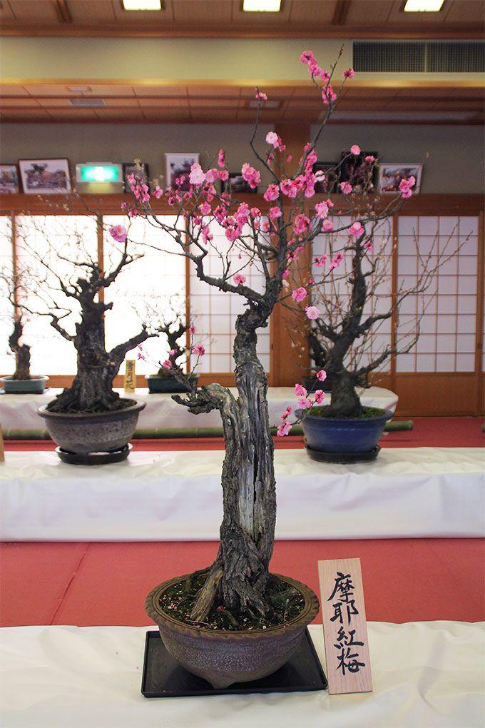 約130種・約200鉢の盆梅がずらり!菅原天満宮ならでは珍しい品種を要チェック。盆梅展