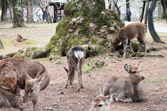 おっとり見えるけど、野生動物。奈良公園の貴重な存在