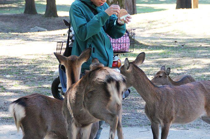 鹿せんべいで、鹿とコミュニケーションを取ろう!