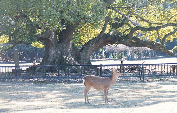 ストーリーで巡る奈良伝説・伝承の樹木4選