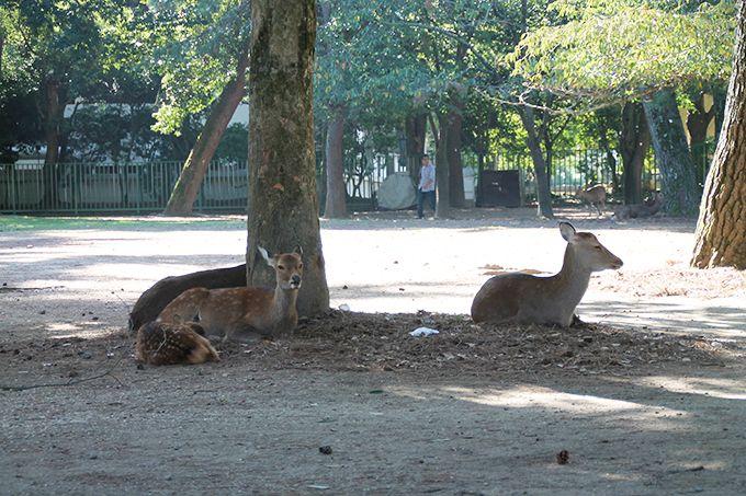1,200年以上、野生の鹿と人が共存する都市、奈良