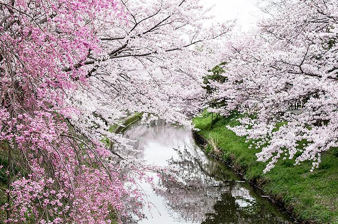樹齢約170年!川路桜