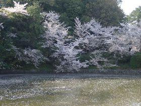 城跡に桜400本!知る人ぞ知る愛知県・刈谷の亀城公園でお花見
