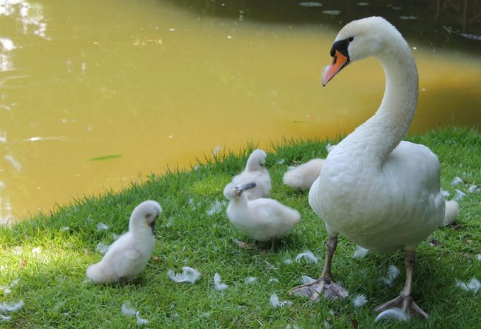 超ラブリー!白鳥の親子が遊ぶ湖畔