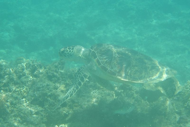 ウミガメと会える!珊瑚礁と熱帯魚の楽園「阿嘉ビーチ」