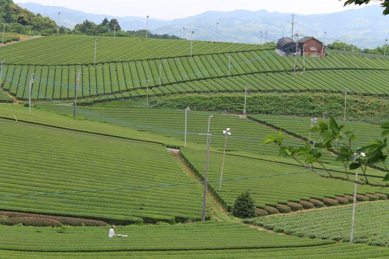 福岡産のお茶といえば八女茶