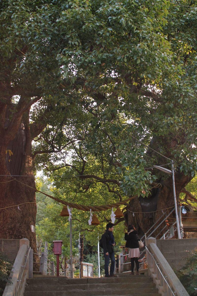 山王神社の被ばくクスノキ。人々を見守ってきた「癒しのパワー」