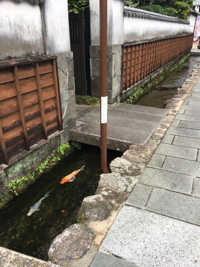 鯉が至るところに!「鯉の泳ぐまち」