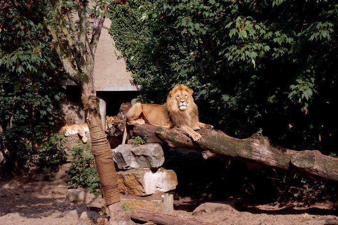 百獣の王ライオンがお出迎え!