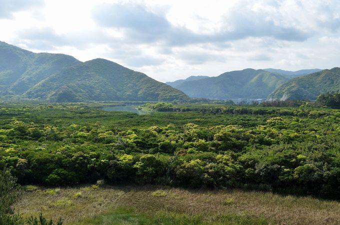 美しいマングローブ原生林を望む