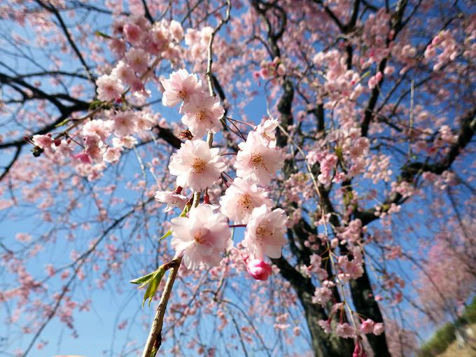 人の「想い」から生まれた桜の庭園