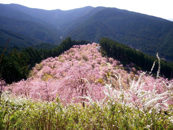 絶景!天空の庭に咲き誇るしだれ桜