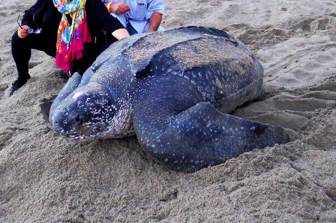3月末〜6月末はオサガメの産卵ツアーも!