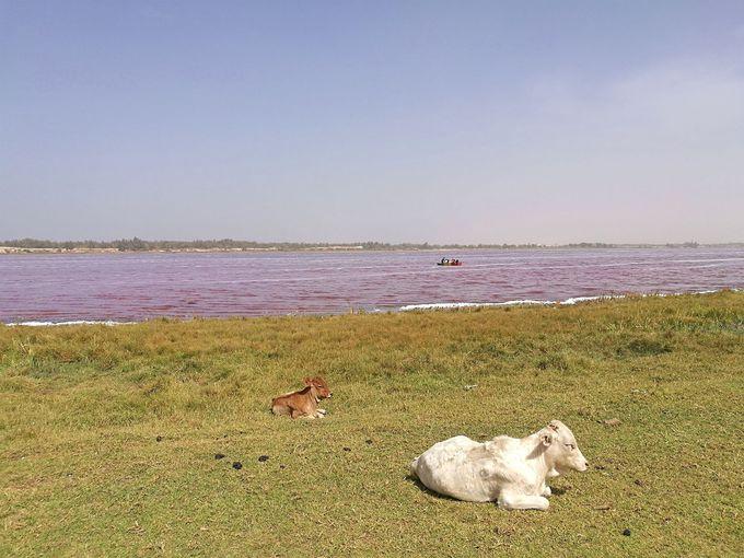 見た目のインパクト大!バラ色の湖「ラックローズ」