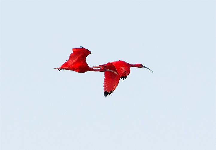 真っ赤な鳥、スカーレットアイビスにご対面!