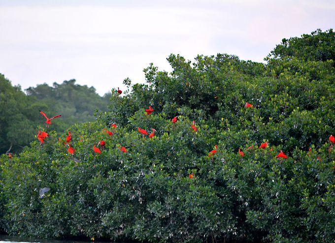 赤い花が咲いた!?スカーレットアイビス寝床の島