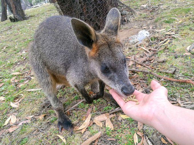 カンガルーに、ワラビーに!餌付けでキュートな写真をパチリ!
