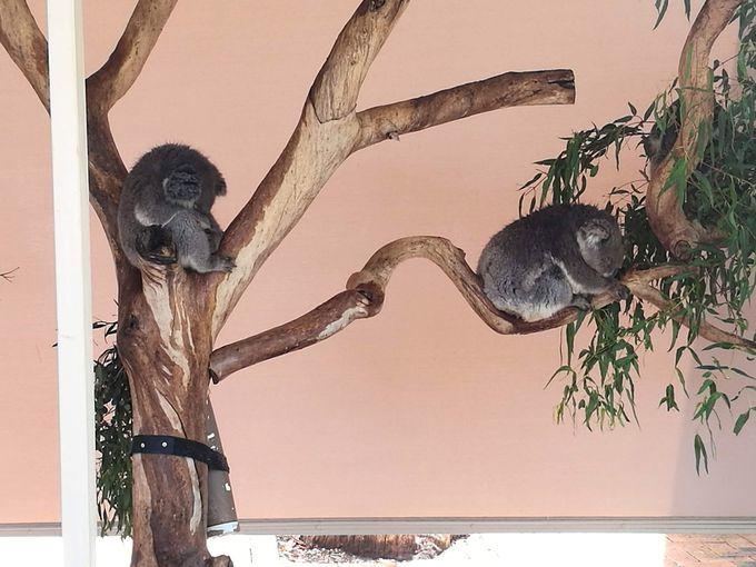 コアラを抱っこして記念撮影が出来る!
