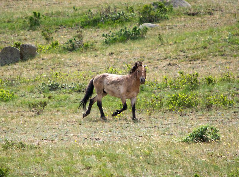 野生馬「タヒ」に会いに行こう!モンゴル・ホスタイ国立公園
