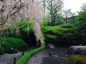 京都で紅しだれ桜を愛でる!室町時代の禅寺、妙心寺退蔵院