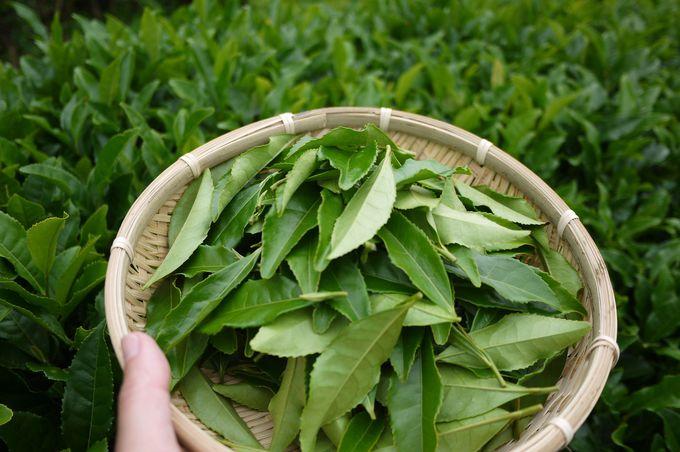 摘んだお茶の葉は持って帰って天ぷらに!