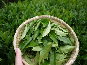 日本人の心!緑茶の里、日本遺産、京都・和束で茶摘みを体験!