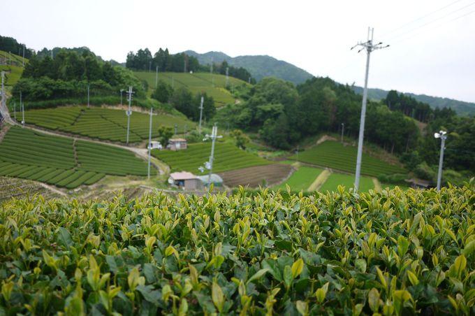 日本遺産、京都府景観資産に登録された茶畑を散策しよう!