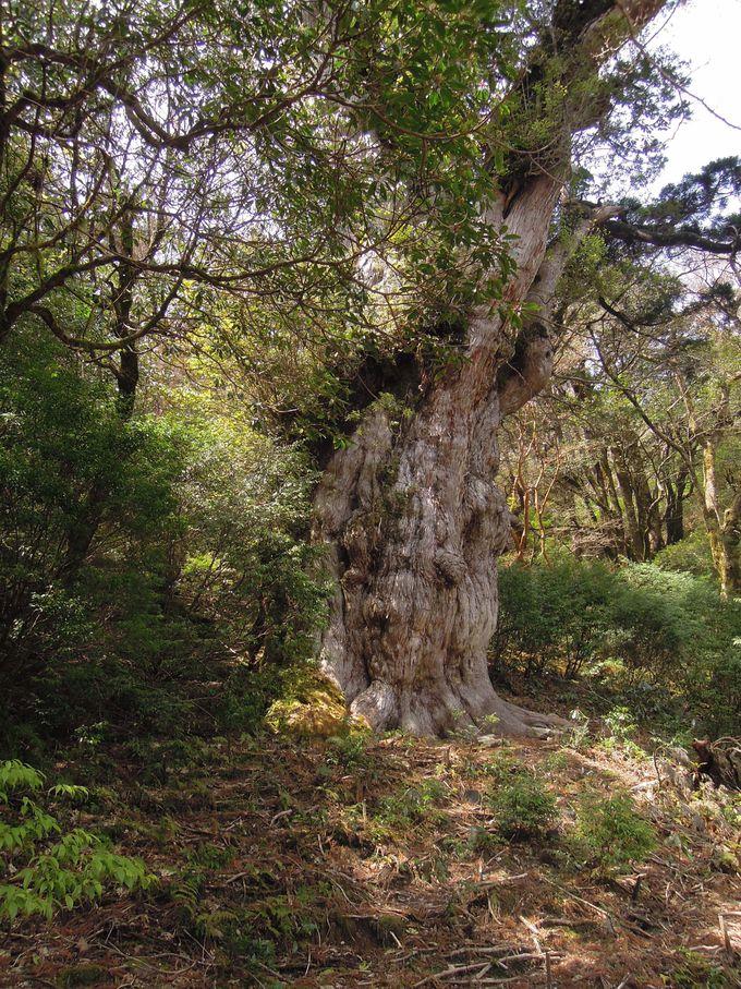 偉大な縄文杉とご対面!