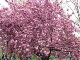 ゴールデンウィークが桜の見ごろ!ニューヨークでお花見をしよう