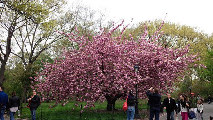 ニューヨーク流のお花見とは