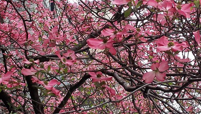 ニューヨークに桜があるワケ