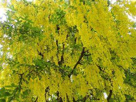黄金のトンネルに感動!花があふれる春のバンクーバー