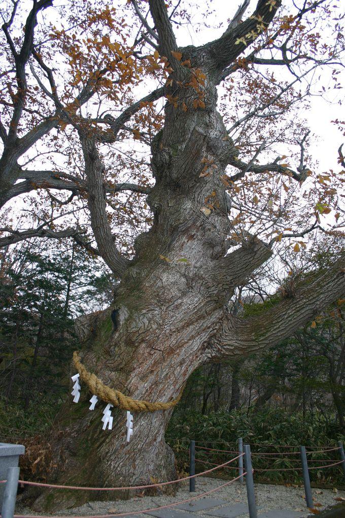 推定樹齢800年!!温泉郷を見守り続けてきた御神木