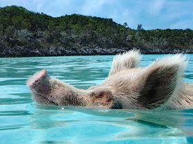 カリブ海で泳ぐ豚!?楽園バハマのエグスーマ諸島で出会うありえない光景とは