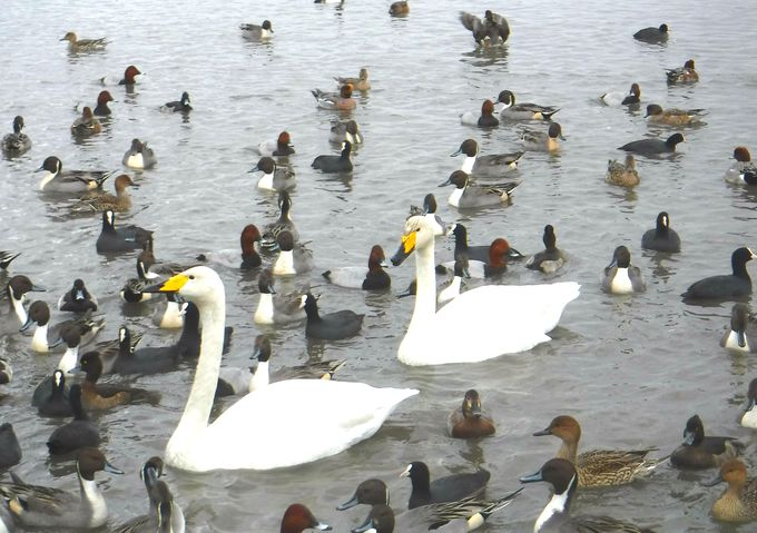 「瓢湖」は白鳥への餌やりがすごすぎる!