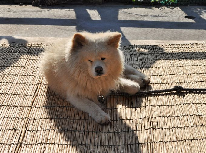 1日目午後:鰺ヶ沢町「きくや商店」でアイドル犬に会おう!