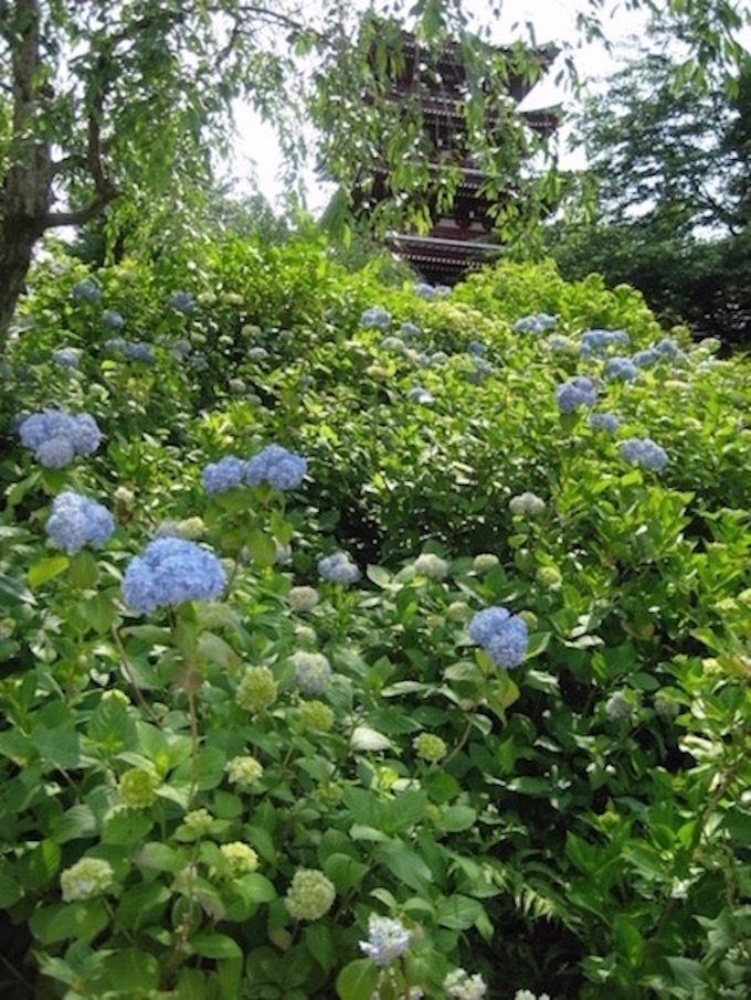 6月中〜下旬が見頃!!あじさいが咲き誇る「花の寺」