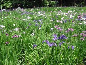 ハナショウブと紫陽花が一緒に楽しめる!千葉「長谷山本土寺」