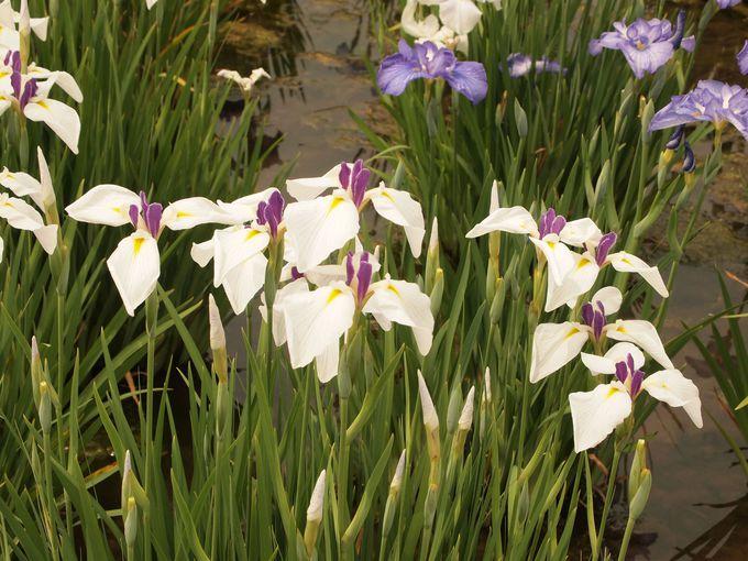 多様な品種、美しき花菖蒲の世界