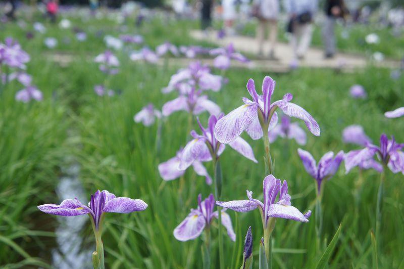 珍しい品種も!初夏、花菖蒲が咲き誇る東京・東村山市の「北山公園」で、紫をもっと好きになる!
