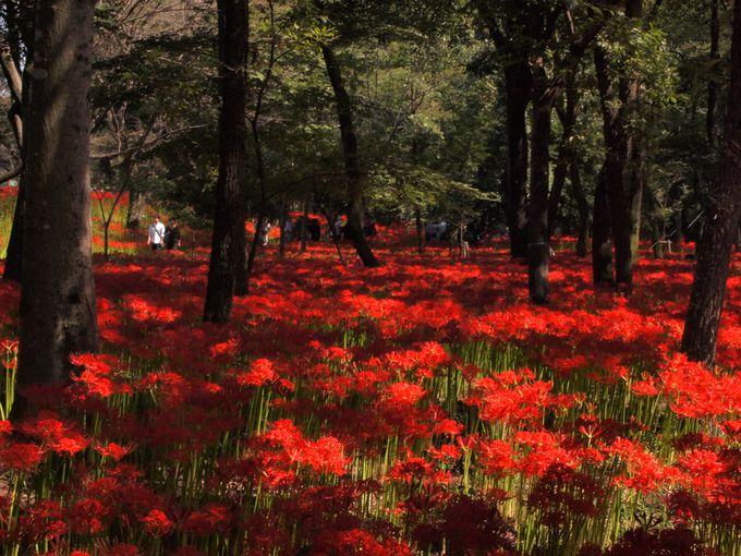 雑木林の中の深紅の絨毯