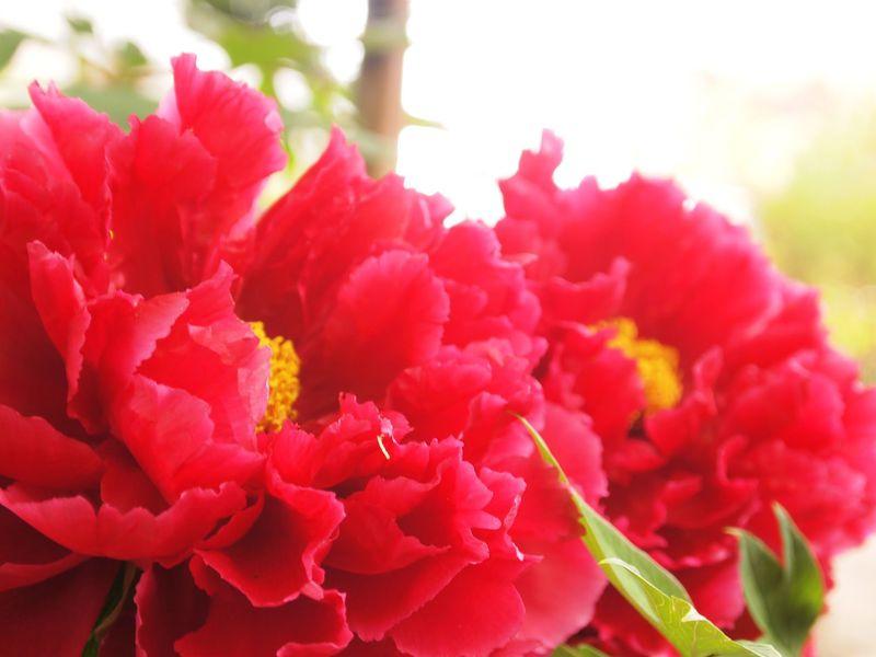 桜の次はココ!上野東照宮ぼたん苑「春のぼたん祭」は極上の艶やかさ