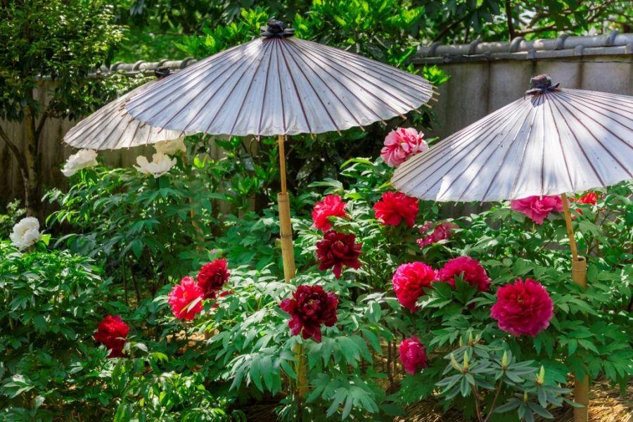 上野東照宮の春と冬を彩るぼたん苑