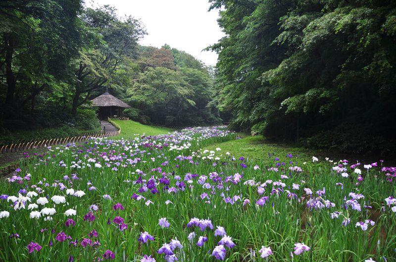 100年の森に息づく永遠の愛「明治神宮御苑」の花菖蒲