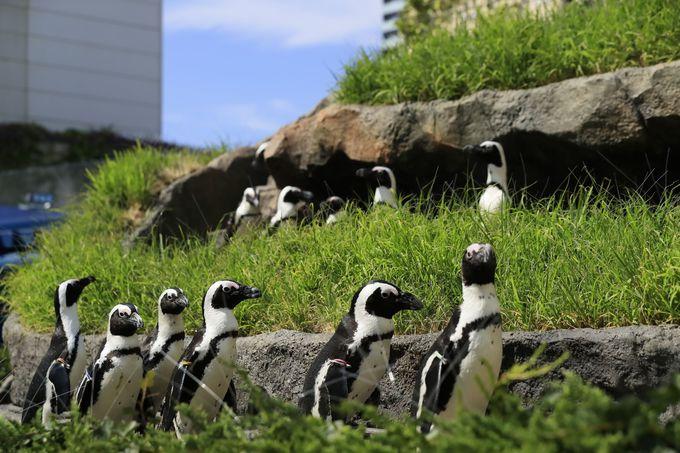 ケープペンギン本来の姿!「草原のペンギン」